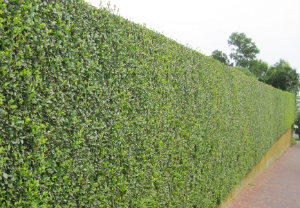 Hedge Cutting Mayfair